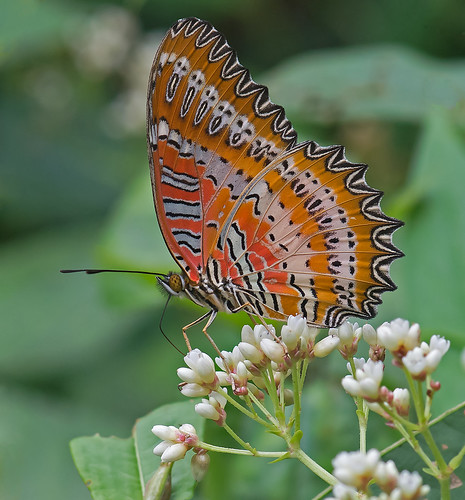 Red Lacewing 3