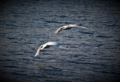 Alla zampa di ogni uccello che vola è legato il filo dell'infinito. (V. Hugo) (ornella sartore) Tags: cigno lago colori natura allaperto particolari volare