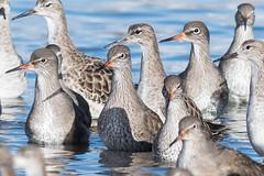 Redshank and Ruff Jan 2018 (jgsnow) Tags: bird wader redhank flock