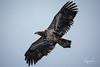 (wyrickodiak_9) Tags: kodiak island alaska bald eagle raptor bird prey flight fishing wildlife