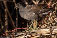 Moorhen in the Sun (MelRoseJ) Tags: sanrafael california unitedstates us gallinule birds lasgallinas nature bayarea sonyalpha sony sonyilca77m2 sal70200g a77ii alpha autofocus northerncalifornia