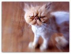 un amour de chat croisé à la SPA ! (Save planet Earth !) Tags: chat cat amcc spa