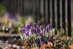 Fence Friday (jillyspoon) Tags: fence friday hff fencefriday bokeh crocuses purple purplecrocuses