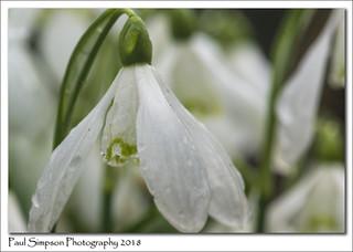 Snowdrops in the Rain
