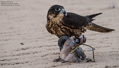 Falcon and his prey (Magic life gallery) Tags: ahmadi kuwait kw