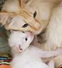 20170901_3909c (Fantasyfan.) Tags: yllätyspennut yllatyspennut kitten iro mom fantasyfanin rekkurescue rekku rescue