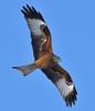 Red Kite (KHR Images) Tags: redkite red kite milvusmilvus wild bird birdofprey fineshade wood northamptonshire wildlife nature nikon d500 kevinrobson khrimages