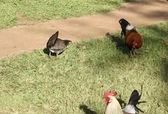 (piccoloakira) Tags: waimea canyon pacific kauai hawaii chickens rooster