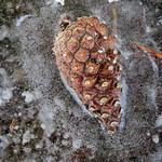 Frozen Pine Cone - Cône de pin congelé thumbnail