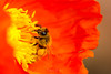 The collector... (ImagesByLin) Tags: poppies poppy spring springtime bees flower flowers macro bee