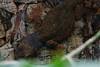 DSC03758 (Christine Gerhardt) Tags: deutschland echse faltengecko stuttgart terrarium tierfoto wilhelma zoo flickrtreffenjan2018