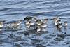 Sanderlings and a few nonbreeding Dunlins (Thomas Langhans) Tags: sanderling dunlin shorebird bird