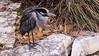 Yellow Crowned Night Heron (treehuggerdcg) Tags: yellowcrownednightheron bird heron sanantonio avian