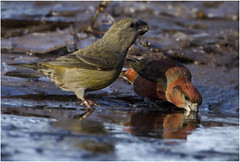 Refreshment (Gary Watson) Tags: canon7d canon500f4 parrot crossbill breckland norfolk woodland puddle drinking
