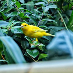 Canary (chauvin.bill) Tags: canary olbrich feeding squareformat
