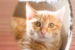 Adorable Fanta (Sharleen Chao) Tags: feline kitten orange ginger taiwan taipei indoors domesticcat lookingatcamera 橘貓 芬達 台灣 台北 家貓 室內 蒸籠
