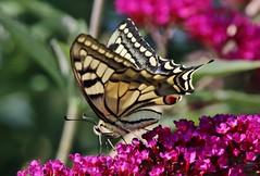 Swallowtail (Hugo von Schreck) Tags: hugovonschreck swallowtail schwalbenschwanz papiliomachaon butterfly schmetterling falter macro makro insect insekt canoneos5dsr tamron28300mmf3563divcpzda010