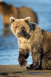 Brown Bear Cub Eye Contact