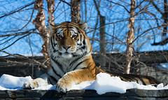 IMG_9129 copie (pierreparadis) Tags: tigre bengal