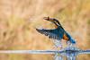 Kingy at Nature Photography Hides (andy_harris62) Tags: kingy kingfisher birdinflight fish kingyfishingforsupper bird wild wildlife nature water splash waterdroplets