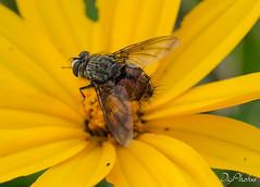 DSC_5537 (DigiPhotus) Tags: digiphotus mosca insect insectos inseto insetos insetto insecte insekt insekter insekten insekte insecten insektet insectes insetti izimbali macro macrodreams
