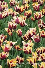 Longwood Gardens Spring 2017 (46) (Framemaker 2014) Tags: longwood gardens kennett square pennsylvania tulips united states america