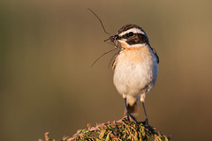 Whinchat Saxicola rubetra (janmangorfagerland) Tags: animal birds bird birdphoto bokeh birdsgallery birding birdsofnorway birdswildlifenaturenikon300mmvrii2 colours coast colorful dephtoffield distinguishedbirds depth dof d600 300mmvrii28g exposure evening fagerland field fugler flickr fuglebilder fauna gallery g green grein heathland islands insect nikon wildlife nikkor nikon300mmvrii28g jan janfagerland june juniper mjåvatn karmøy landscape light mangor myr marsh norway nature norge natur outdoor ornithology orange photography photo planet plant portrait red rubetra sun songbird saxicola tc14e ii buskskvett vr white wildbirds wetland whinchat å