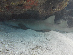 French Reef Discover Scuba Diving Turtles Sharks Many Fishes (Sail Fish Scuba) Tags: keylargo frenchreef padi discoverscubadiving snorkelkeylargo