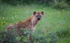 Namibia Erindi Black spotted Hyena (Sas & Rikske) Tags: namibia erindi black spotted hyena namibiaerindiblackspottedhyena hyenablackspottedhyena canon eos1d x canoneos1dx canon100400 eric bruyninckx riksketervuren namibië namib animal animals safari africa afrika landscape green blauwevogelreizen 2017 private game reserve erindiprivategamereserve oldtraderslodge old traders lodge rain regen