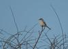 Great Grey Shrike Gloucestershire 17-02-2018-3549 (seandarcy2) Tags: ggs great grey shrike birds wildlife gloucestershire