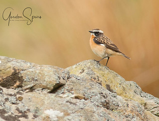 Whinchat On Rock