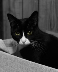 (GirlDuck) Tags: cateyes eyes tuxedo tuxedocats cutecats cutecat cute babycat baby kittens kitten kitties kitty cat cats