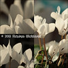 2018-01-09 begonia plantje canon macro collage copyright (edufloortje) Tags: canon bloemen wit collage