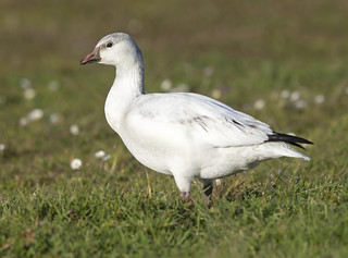 Ross's x Snow Hybrid Goose