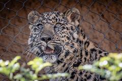 A Fence Between Us (Susan.Johnston) Tags: california sandiegozoo fence leopardcub leopard cub happyfencefriday hff