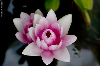 Nymphaea cultivar (Waterlily) from Chiangmai, Thailand