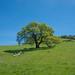 It 's About Time (tourtrophy) Tags: morganterritoryregionalpreserve californiaoak oaktree morganterritory green eastbayregionalparkdistrict ebrpd