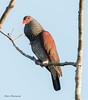 Scaled Pigeon with inflated neck while cooing (sbuckinghamnj) Tags: pigeon scaledpigeon bird iwokramaforest iwokrama guyana rupununi