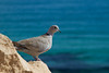 Collared dove (smir_001) Tags: eurasiancollareddove collareddove streptopeliadecaocto streptopelia decaocto columbidae doves costacalma wildbirds wildlife fauna fuerteventura canarias canaryislands spain canoneos7d nature outdoor birds