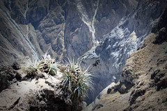 Living on the Edge (Dave Hilditch Photography) Tags: peru colcacanyon cactus canyouns gorges landscapes
