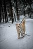 HM2A7638 (ax.stoll) Tags: feldberg frankfurt taunus mountain forest snow winter winterwonderland outdoor nature dog hovawart trees street wanderlust travel