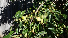 Figs for a future walk (spelio) Tags: walk drive act canberra 2018 jan
