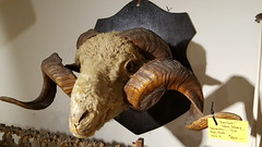 """DORSET HORN SHEEP MOUNT WITH AMAZING TWO FULL CURLS!  $850. • <a style=""""font-size:0.8em;"""" href=""""http://www.flickr.com/photos/51721355@N02/38935152914/"""" target=""""_blank"""">View on Flickr</a>"""