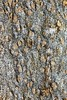 porphyroblastic cordirite-andalusite-biotite schist with foliation going around porphyroblasts (peterwallace2) Tags: swnova cambrian schist