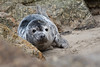 Sennen Seal (Andrew Hocking Photography) Tags: sennen greyseal seal cornwall wild wildlife nature pup juvenille young coast sealife