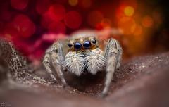 Jumping Spider (Can Tunçer) Tags: can cantunçer cantuncer canon canon6d macro makro macros macrophotography micro mikro makros mpe65mm tunçer turkey turkiye tuncer türkiye tabletop techology stack stacking studio setup stand nature