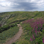 Patch of foxgloves by Coast Path, by Logan Rock headland thumbnail