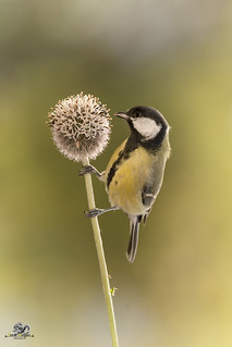 great tit holding on to a Thistle flower branch
