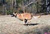 DSC_0029 (Charlotte Hoberg) Tags: german shepherd belgian malinois mondioring ipo schutzhund dog dogs cute training black fawn while rottweiler pit bull boxer lab labrador