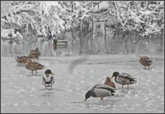 Eiskalt erwischt ... (Kindergartenkinder) Tags: enten eis schnee winter kindergartenkinder